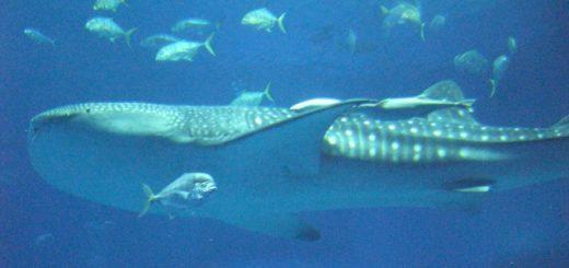美ら海水族館のジンベエザメの餌やり
